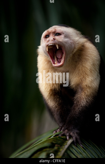 White-throated Capuchin, Alpha male, on an island in Gatun lake, Republic of Panama. - Stock-Bilder
