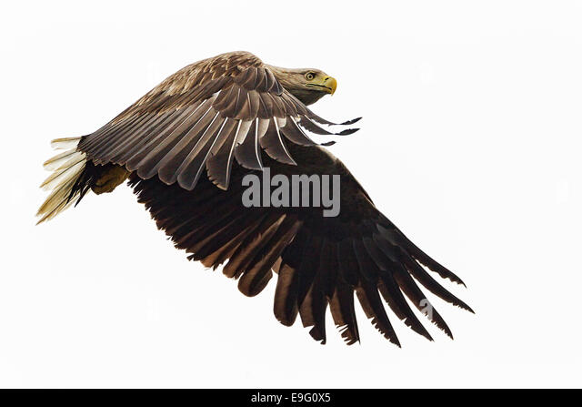 Adult White-tailed Sea Eagle flying over the sea hunting for fish on the Isle of Mull, Scotland - Stock Image