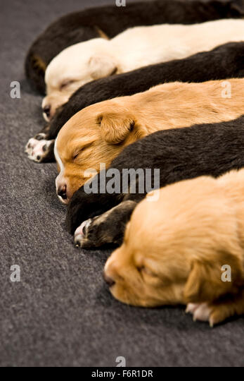 4 day old newborn multi-colored puppy dogs sleeping lined up in a row indoors laying on short carpet - Stock Image