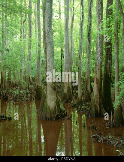SOUTH CAROLINA -  A gut, (small creek), along the Oak Ridge Trail in Congaree National Park - Stock Image
