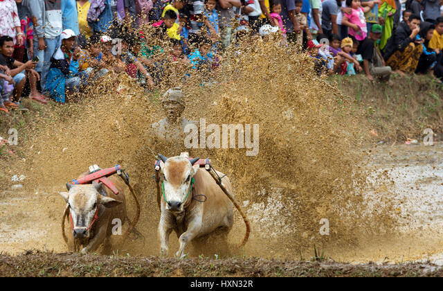 Tradition mud cow racing sport Pacu Jawi with spectator crowd. - Stock-Bilder