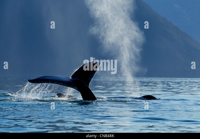 A Humpback Whale lifts its flukes as it dives down into Stephens Passage, Admiralty Island, Inside Passage, Alaska, - Stock Image