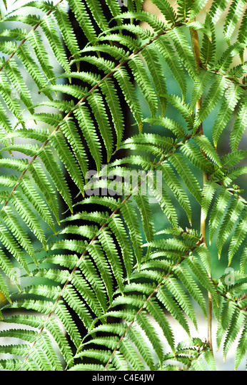Dicksonia antarctica.Soft tree fern foliage abstract - Stock Image