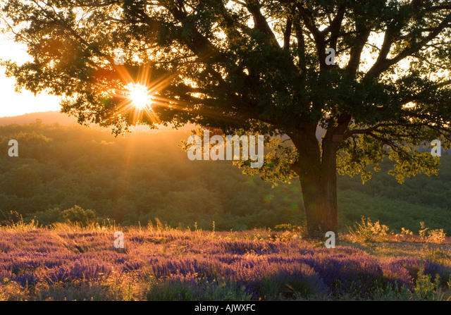 France Provence Vaucluse region Sunset through tree over lavender field - Stock Image