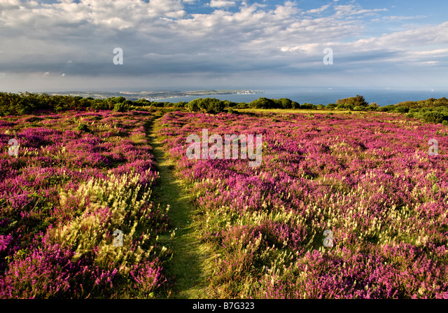 Heather on Bonchchurch Down, Isle of Wight - Stock Image