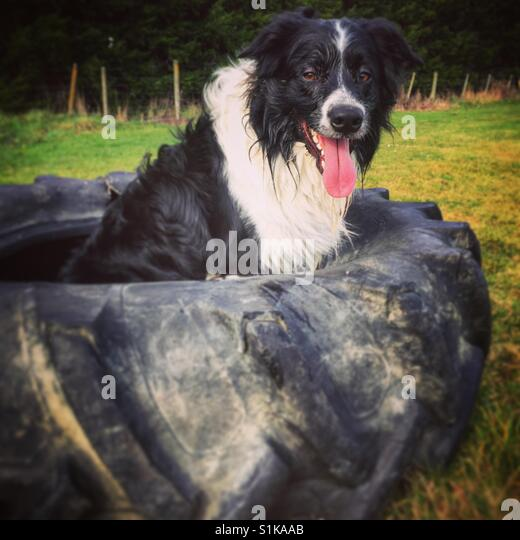 Dog in a tyre - Stock Image