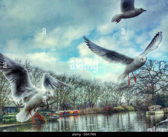 Seagulls flying above a pond in a London park - Stock Image