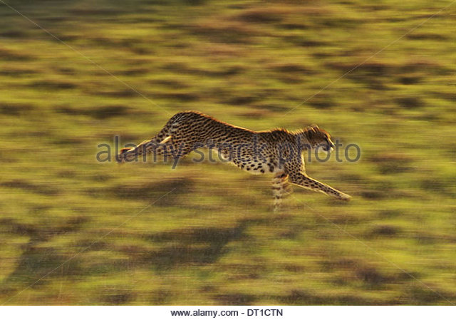 Cheetah running Acinonyx jubatus Native to Africa - Stock-Bilder