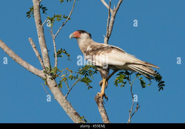 A leucistic (partially albino) Southern Caracara from North Pantanal, Brazil - Stock Image