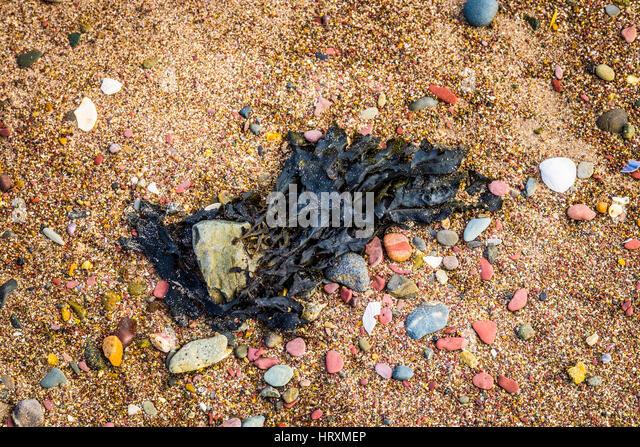 Seaweed - Stock Image