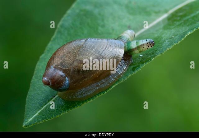 green-banded-broodsac-leucochloridium-pa