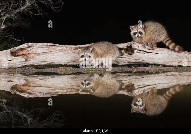 Northern Raccoon (Procyon lotor), adults at night on log, Sinton, Corpus Christi, Coastal Bend, Texas, USA - Stock Image