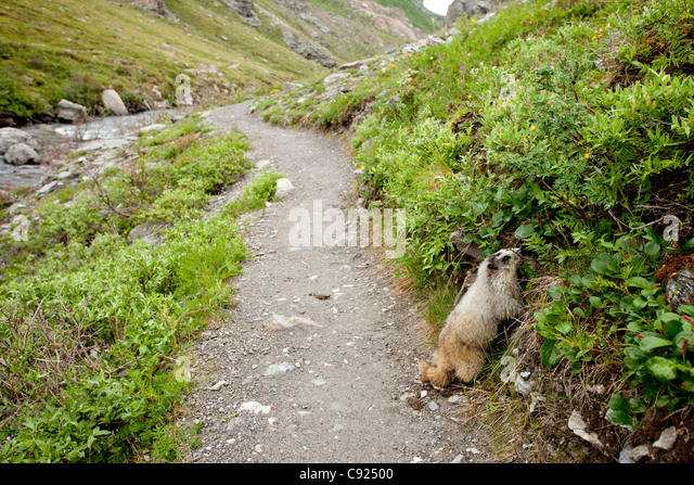 Marmot feeds on vegetation along Savage River loop trail inside Denali National Park & Preserve, Interior Alaska, - Stock Image