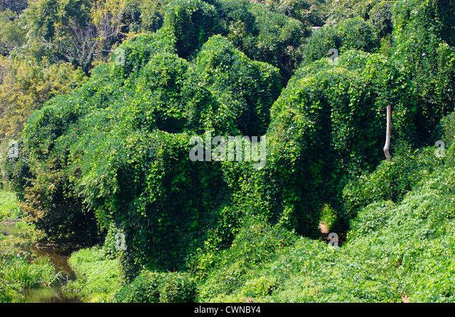 a overview of invasive species in georgia kudzu The kudzu plant was introduced to the united states from  united states, mostly  in alabama, georgia, tennessee,.