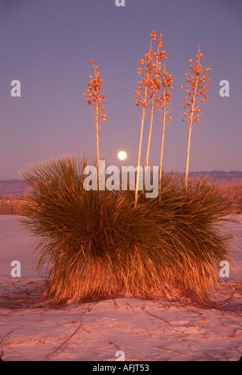 New Mexico Southwest Alamogordo White Sands National Monument yucca plant shifting white gypsum sand NM NM - Stock Image