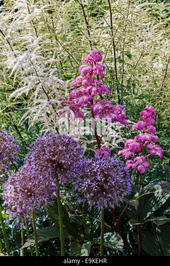 Lanhydrock, Bodmin, Cornwall, UK. Rodgersia pinnata 'Superba' and alliums in the herbaceous border, summer - Stock Image
