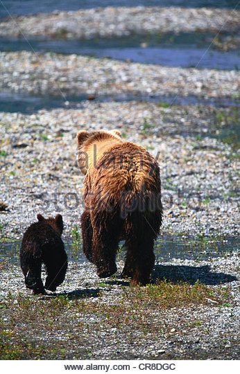 Brown bear and cub - Stock Image