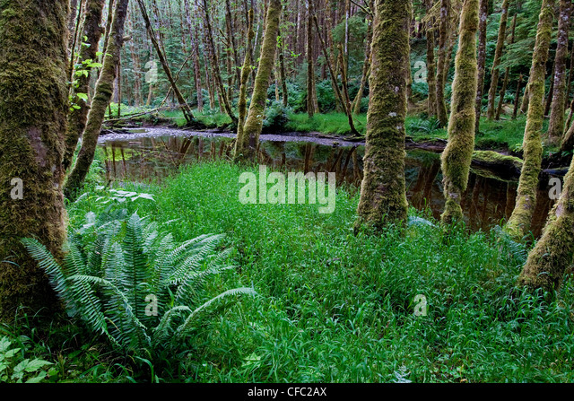 slowly moving creek makes its way Sword ferns old - Stock Image