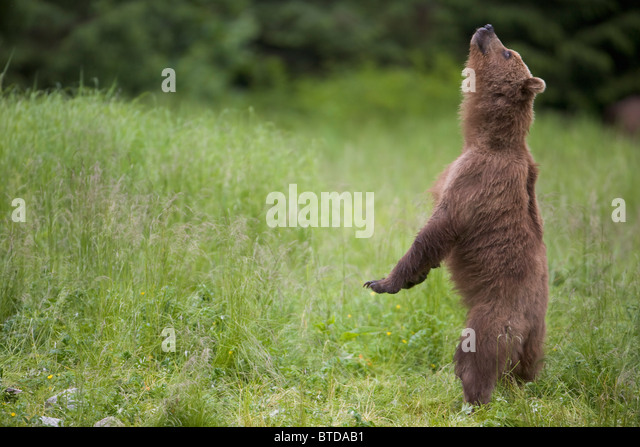 Brown bear standing upright and sniffing the air, Prince William Sound, Chugach Mountains, Chugach National Forest, - Stock Image