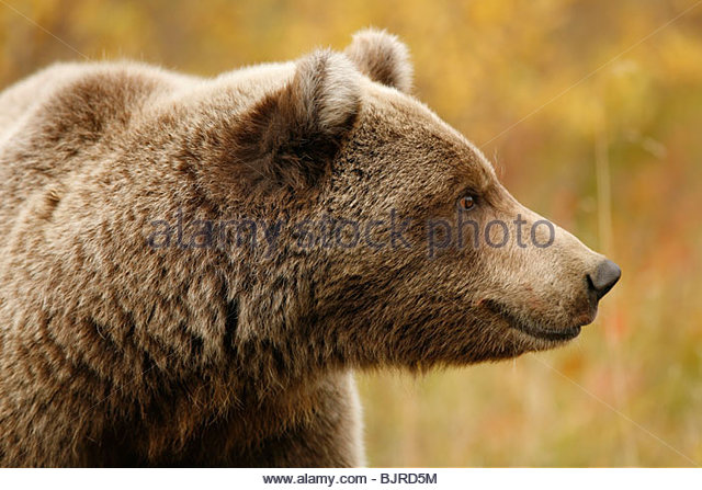 Grizzly Bear, Ursus arctos, fall, feeding, alpine tundra, Denali National Park, Alaska. - Stock Image