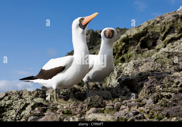 Couple of Masked Booby, Malpelo Island, National Park, Natural World Heritage Site, Colombia, East Pacific Ocean - Stock Image