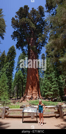 The General Sherman!  Sequoia National Park is a national park in the southern Sierra Nevada east of Visalia, California, - Stock Image