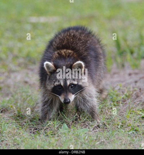 Young Raccoon In Florida Park - Stock Image
