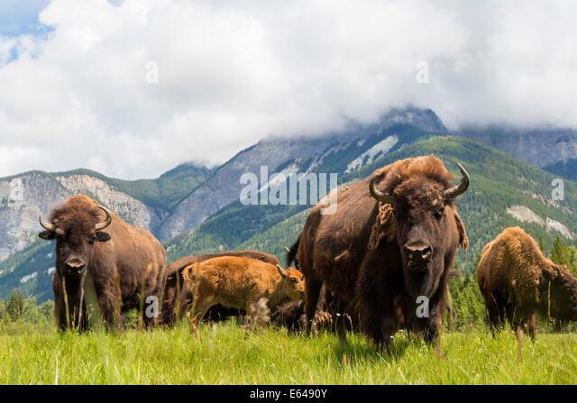 Bison, Alberta, Canada - Stock Image