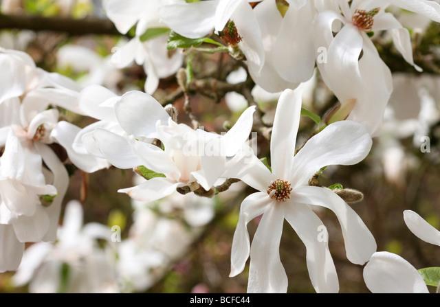 striking white magnolia tree fine art photography Jane Ann Butler Photography JABP430 - Stock Image
