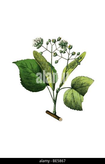 Lime tree, historical illustration - Stock Image