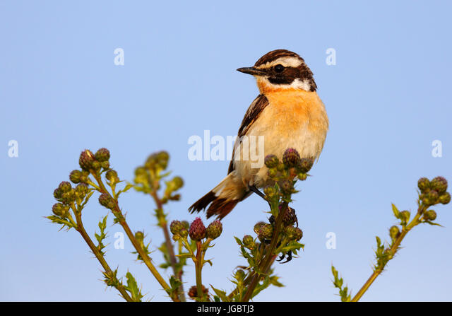 Whinchat (Saxicola rubetra) sitting on thistles, Middle Elbe Biosphere Reserve, Saxony-Anhalt, Germany - Stock Image