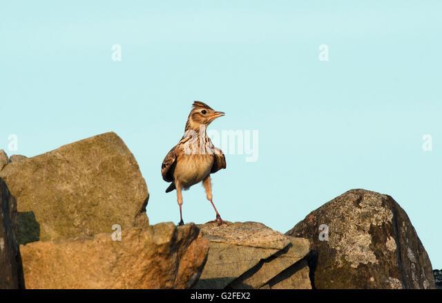 skylark,alauda arvensis,singing,farmland,islay,scotland - Stock Image