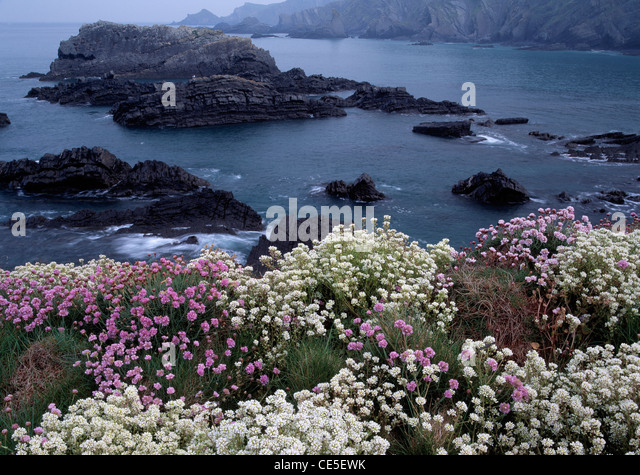 Spring coastal clifftop flowers, mainly Common Scurvy Grass and Thrift, at Hartland Quay, North Devon. - Stock Image