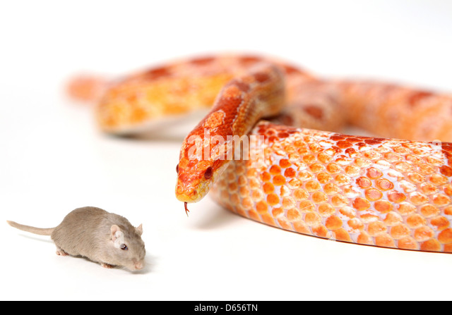 Hungry snake looking at mouse - Stock Image