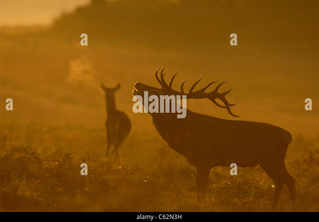 RED DEER Cervus elaphus An adult male in silhouette roars in dawn mist as a female stands nearbyLeicestershire, - Stock-Bilder