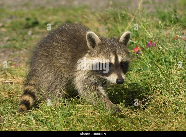 Common Raccoon - walking on meadow / Procyon lotor - Stock Image