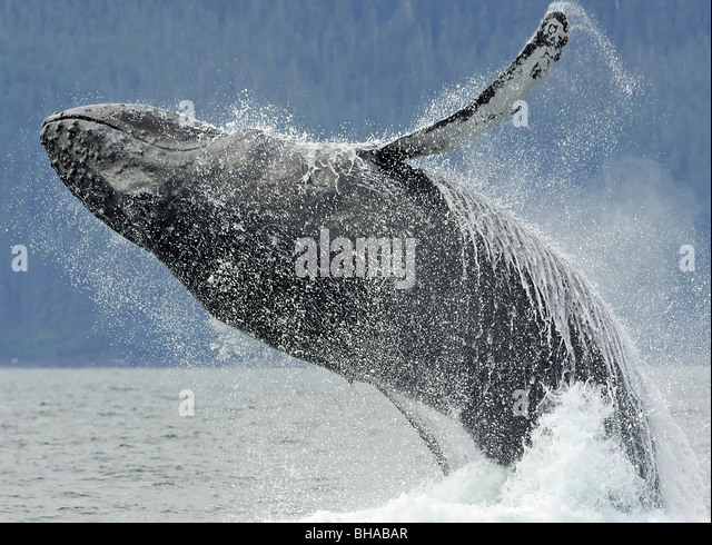 Humpback whale breaching near Juneau during Summer in Southeast Alaska - Stock Image