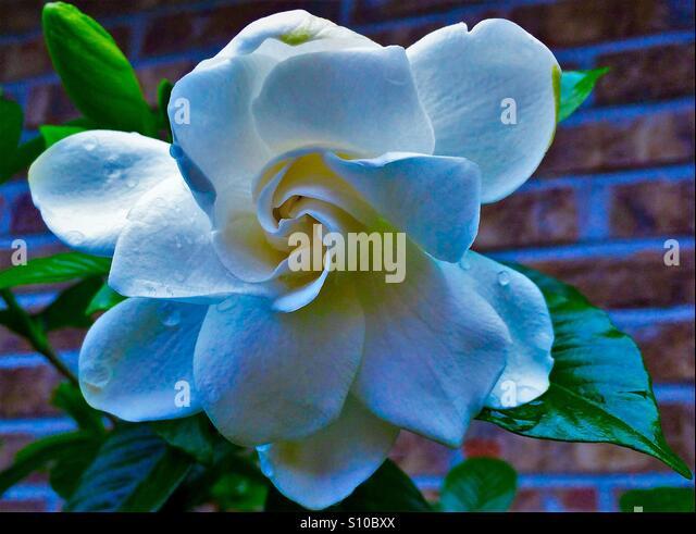 Gardenia Flower Stock Photos & Gardenia Flower Stock ...