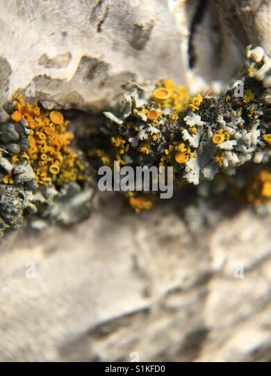 Lichen on tree - Stock Image
