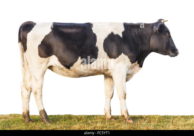 cow side view coloring pages - photo#35