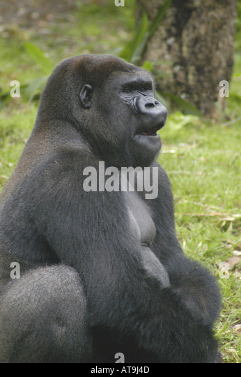 Mountain gorilla with mouth open - Stock Image