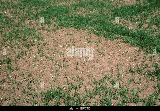 Patchy spring barley crop caused by poor germination - Stock Image