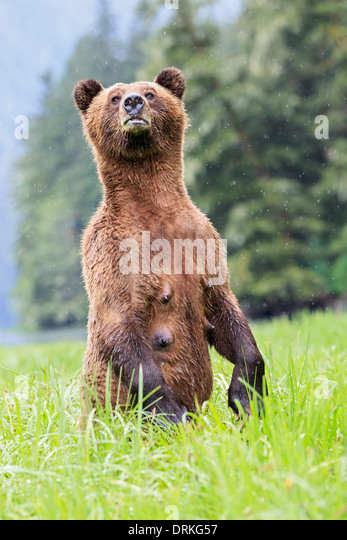 Canada, Khutzeymateen Grizzly Bear Sanctuary, Female grizzly standing upright - Stock Image