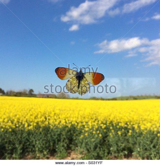 Orange Tip Butterfly Anthocharis Cardamines - Stock Image