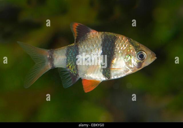 Sumatra barb, tiger barb (Puntius tetrazona, Barbus tetrazona), two ...