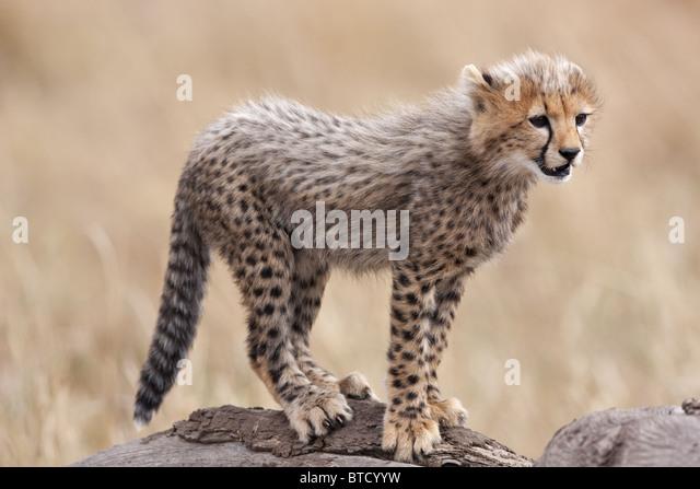 Cheetah (Acinonyx jubatus) Cub. Masai Mara National Reserve. Kenya - Stock-Bilder