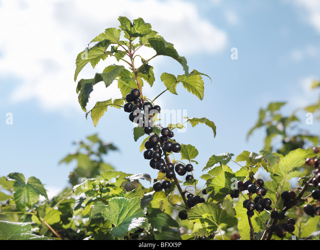 Ripe Blackcurrants On Shrub - Stock Image