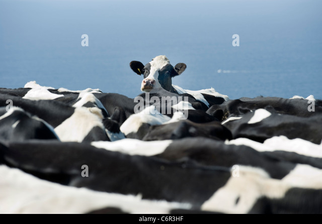A lone cow who seems to be fed up with being stuck in a herd. - Stock Image