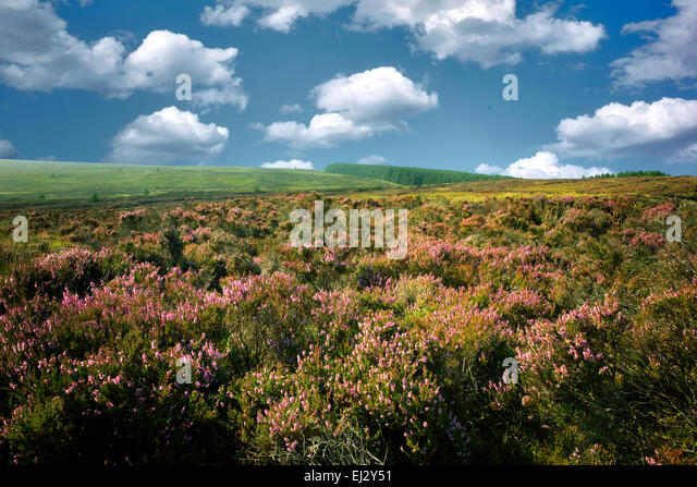 Wild heather near Ballycastle. Northern Ireland - Stock Image