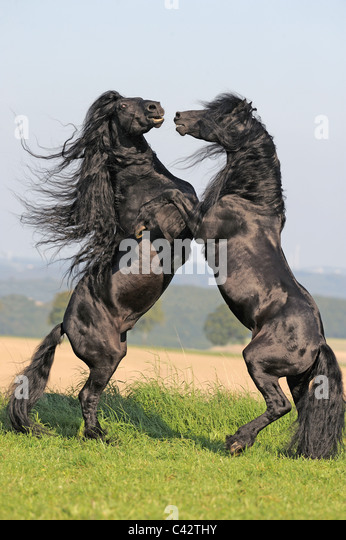 Friesian Horse (Equus ferus caballus), stallions fighting. Germany. - Stock Image